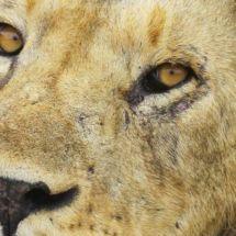 Kenya et sa faune