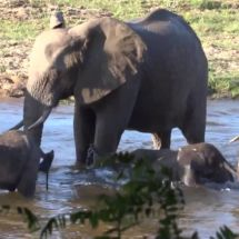 South Africa : Bain des éléphants Kruger / Marloth